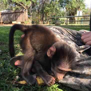 Tygga mit einer Banane...