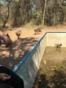 Der Baboon Walk, bei dem die Tiere draußen spielen