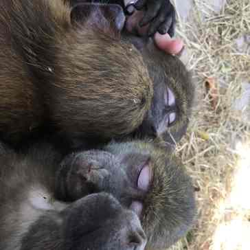 schlafende Paviane auf mir :)